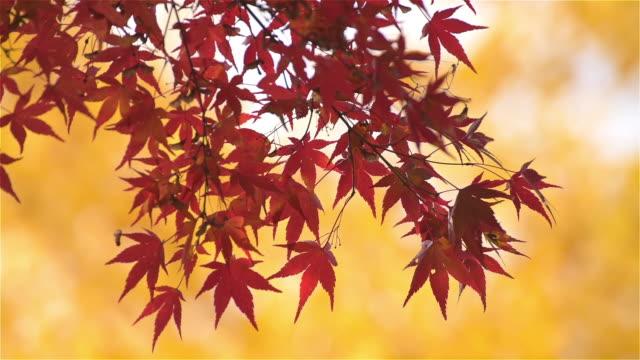 秋の紅葉シーズンの日本のカエデの葉 - 伝統行事点の映像素材/bロール