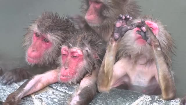 monkeys bathe in an open-air spa at the hakodate tropical botanical garden on dec. 1 in hakodate, hokkaido, northern japan. - macaque stock videos & royalty-free footage