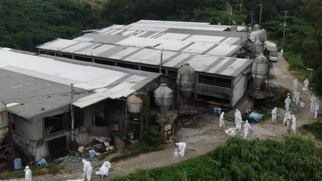 movie taken jan 8 from a drone shows official of japan's southern prefecture of okinawa and selfdefense force personnel wearing hazmat suits engaged... - maiale ungulato video stock e b–roll