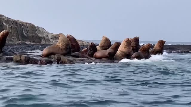 photo shows sea lions on benten island off soya cape in hokkaido, northern japan, on dec. 24, 2020. the marine mammals have appeared around the... - sea lion stock videos & royalty-free footage