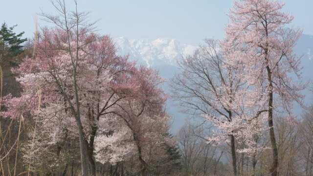 Japanese Alps over Cherry Trees in Full Bloom
