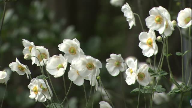 japanese anemone face one direction in the garden of the nakaku bluff no.18 house in yokohama, japan. - 揺れる点の映像素材/bロール