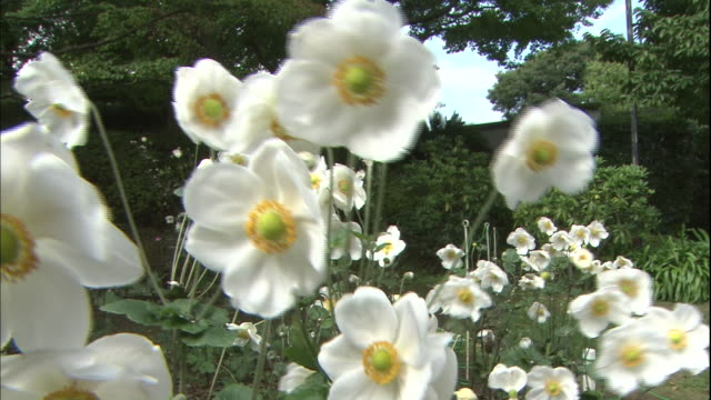 Japanese anemones grow in the garden of the Nakaku Bluff No.18 House in Yokohama, Japan.