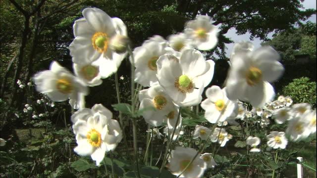 Japanese anemones move in the wind in the garden of the Nakaku Bluff No.18 House in Yokohama, Japan.