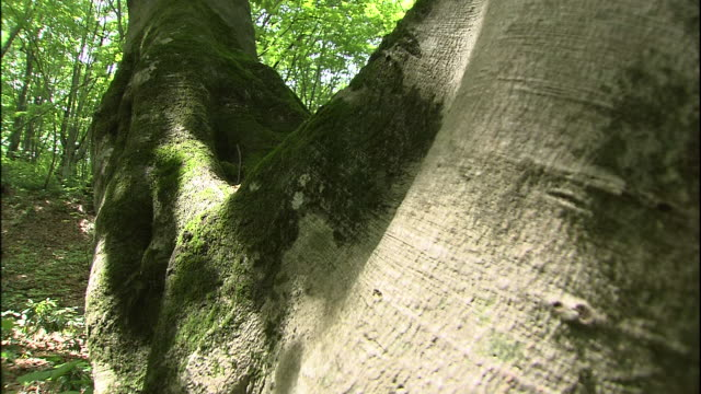 a japanese beech tree branches off into two from the root in the forest of mt. chokai, japan. - 鳥海山点の映像素材/bロール