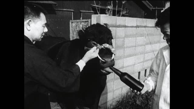 japanese black cow drinks beer from bottle; 1964 - beer bottle stock videos & royalty-free footage