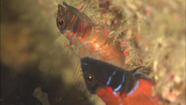 a japanese blacktail triplefin releases eggs. - spawning stock videos and b-roll footage
