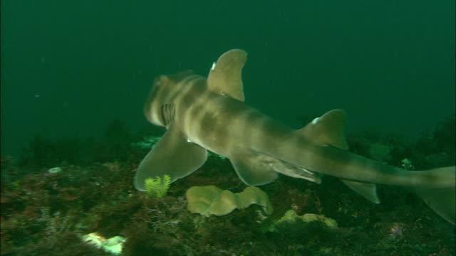 A Japanese bullhead shark swims near the ocean floor. Diving-shot