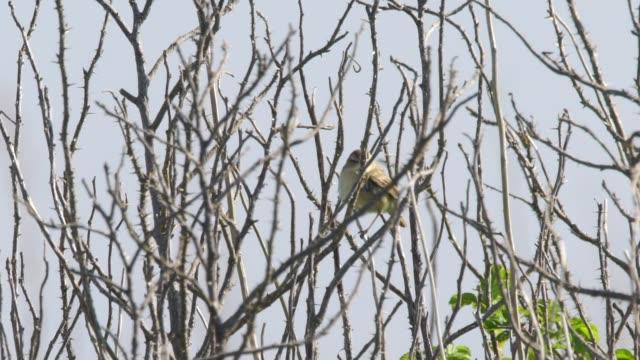 japanese bush warbler (horornis diphone) kuril islands - warbler stock videos & royalty-free footage