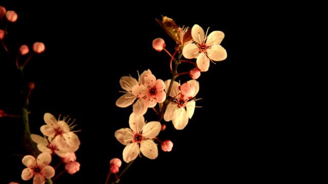 vídeos de stock e filmes b-roll de cereja japonesa desabrochando sobre preto - prunus taihaku