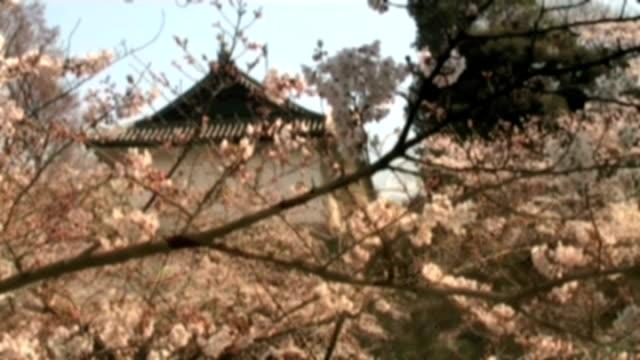 vidéos et rushes de fond de fleurs de cerisier japonais dvd et vidéo. anamorphose écran large. - anamorphose