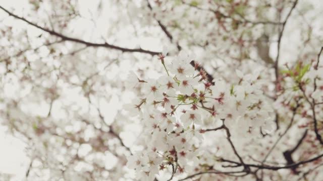 日本の桜の花 - ピンク色点の映像素材/bロール