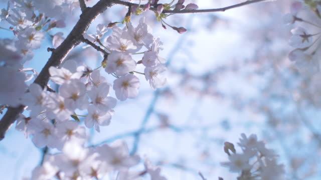 Japanese Cherry Blossom Flowers