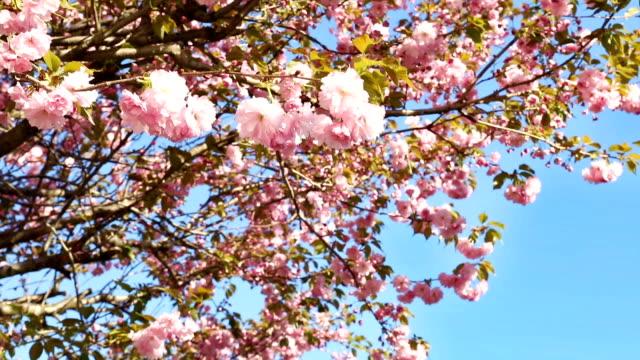 vídeos de stock, filmes e b-roll de flores de cereja japonesas que fundem na brisa - árvore de folha caduca