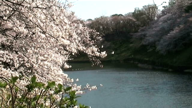 japanese cherry blossoms by the river in tokyo - anamorphic stock videos & royalty-free footage