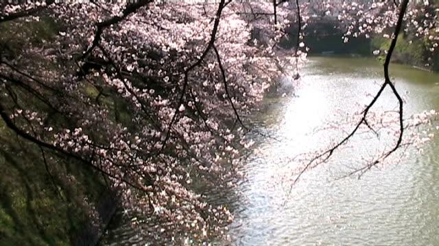vidéos et rushes de cerisier japonais en fleurs au bord de la rivière. - anamorphose