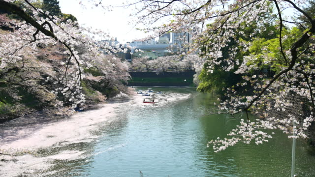 japanese cherry blossoms by the river - kanto region stock videos and b-roll footage