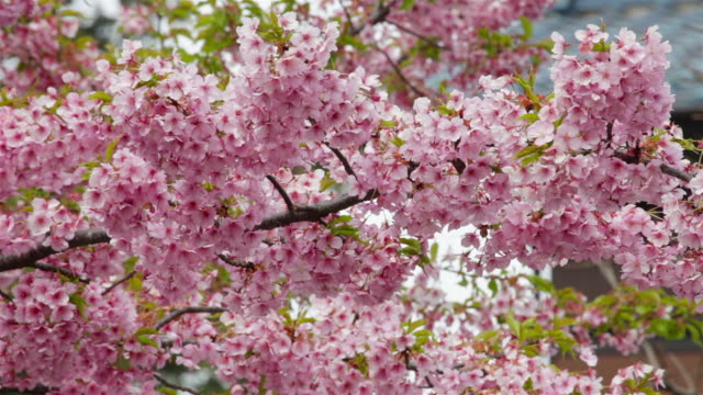 japanese cherry blossoms - ピンク色点の映像素材/bロール