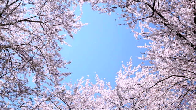 vídeos de stock, filmes e b-roll de flores de cerejeira japonesas com sky - plusphoto