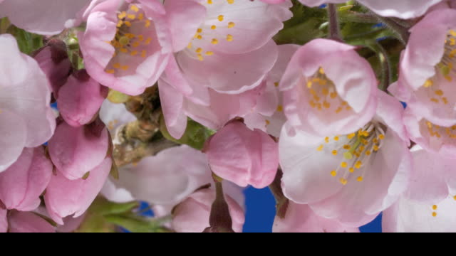 T/L Japanese Cherry (Prunus sp.) flowering