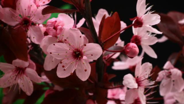 vídeos de stock e filmes b-roll de cerejeira japonesa desabrochando hd - prunus taihaku