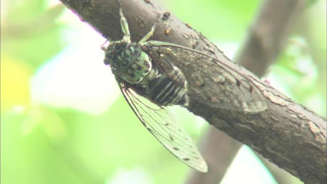 vidéos et rushes de japanese cicada - audio disponible en ligne