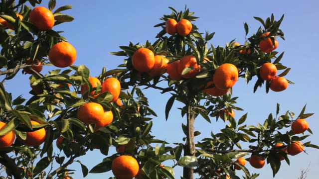 japanese clementine on a tree in japan. - tangerine stock videos and b-roll footage