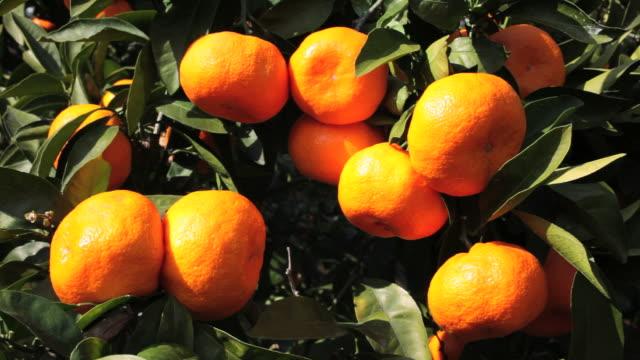 日本 clementines の木である。 - オレンジ点の映像素材/bロール