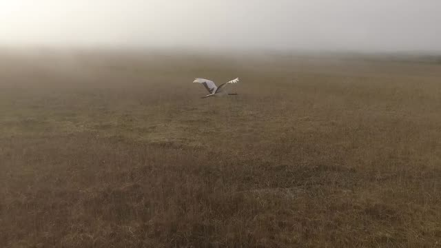 japanese crane (grus japonensis) in kuril islands - gru video stock e b–roll