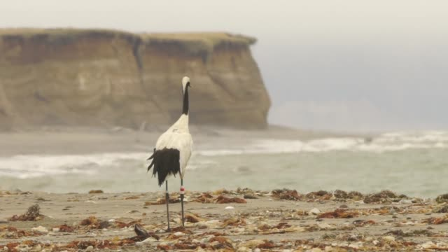 japanese crane (grus japonensis) in kuril islands - crane stock videos & royalty-free footage