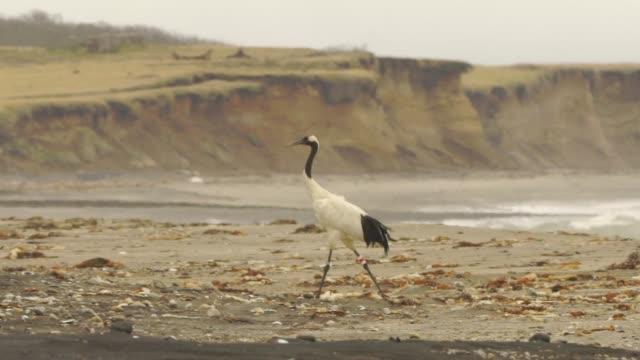 千島列島のタンチョウ (グルスタンチョウ) - ツル点の映像素材/bロール