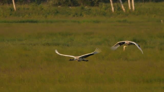 日本の鶴(グルスジャポネンシス) - キンガン自然保護区 - ツル点の映像素材/bロール
