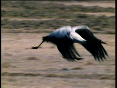 japanese crane runs along ground flapping wings, takes off and flies out of shot - animal wing stock videos & royalty-free footage