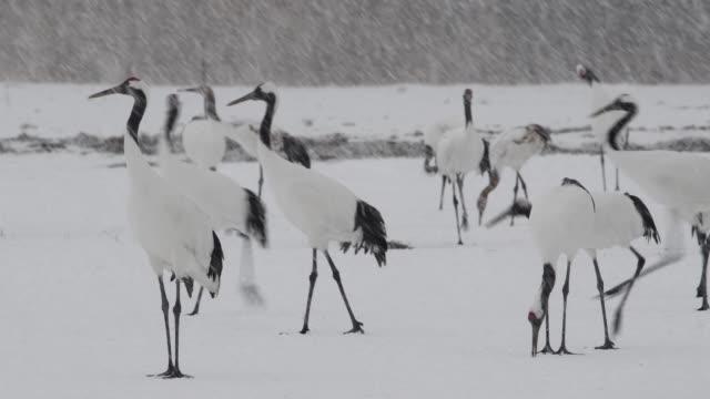 japanese crane - hokkaido stock videos & royalty-free footage