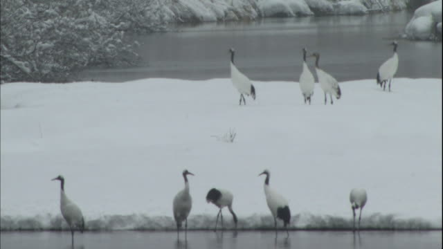 Japanese cranes gather on the snowy banks of the Setsurigawa River in Kushiro Shitsugen National Park, Japan.
