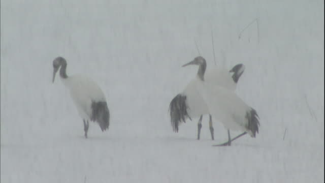 Japanese cranes groom themselves as heavy snow falls.