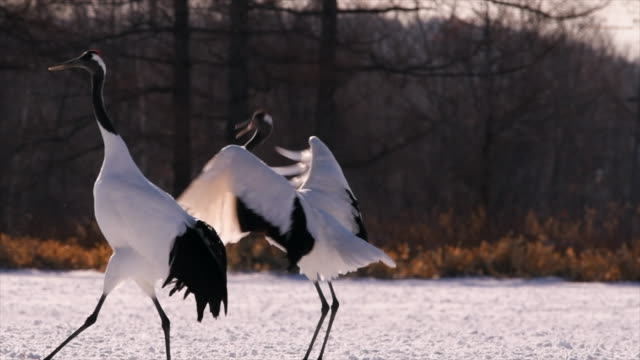 japanese cranes singing in hokkaido - ceremony stock videos & royalty-free footage