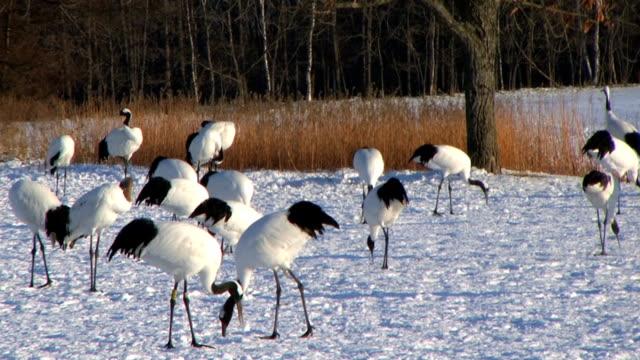 hd: japanische cranes (video - eurasischer kranich stock-videos und b-roll-filmmaterial