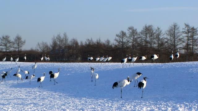 hd: japanese cranes (video) - hokkaido stock videos & royalty-free footage