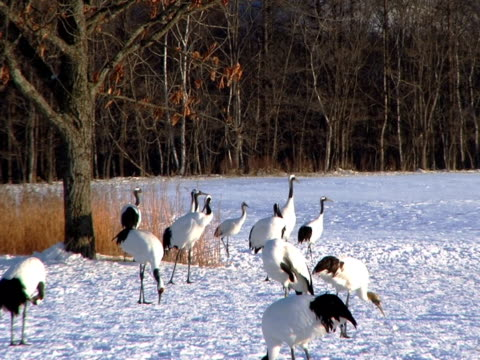 ntsc: japanische cranes (video - eurasischer kranich stock-videos und b-roll-filmmaterial