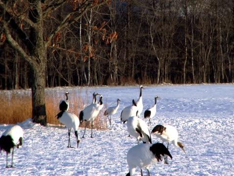 pal: japanische cranes (video - eurasischer kranich stock-videos und b-roll-filmmaterial