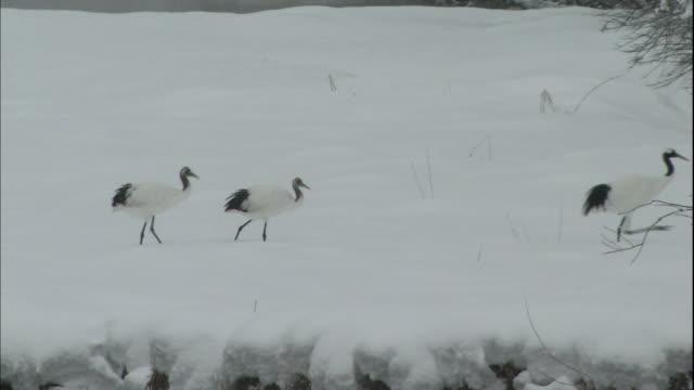 Japanese cranes walk along the snowy banks of the Setsurigawa River in Japan.