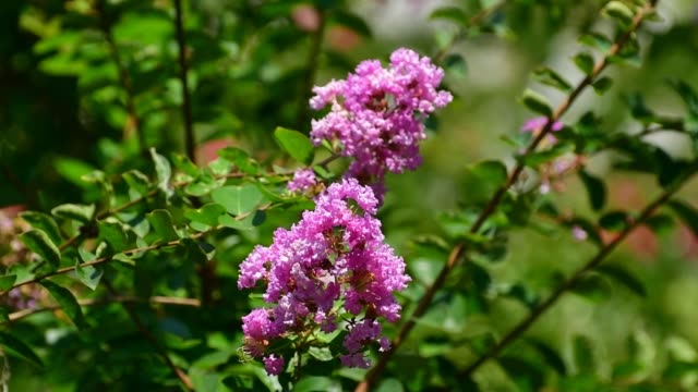 japanese crape myrtle flower / lagerstroemia indica - deciduous tree stock videos & royalty-free footage