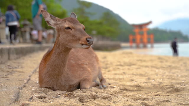 japanese deer on the beach - antler stock videos & royalty-free footage