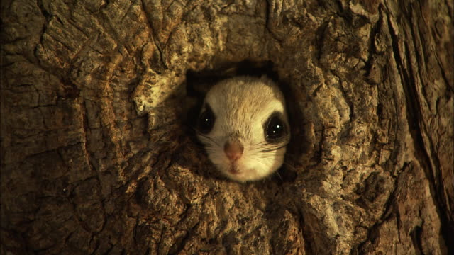 japanese dwarf flying squirrel at sarobetsu national park in hokkaido - hole stock videos & royalty-free footage