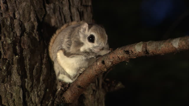 japanese dwarf flying squirrel at sarobetsu national park in hokkaido - squirrel stock videos and b-roll footage