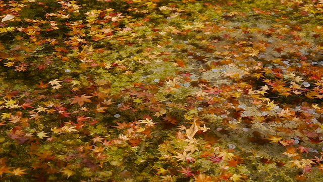 japanese fall foliage flowing in the water - autumn leaf color stock videos and b-roll footage