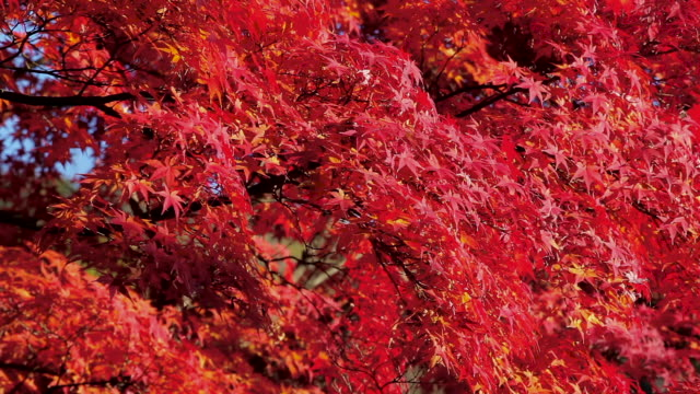 japanese fall foliage in Kyoto, Japan