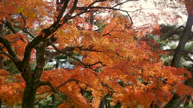 Japanese fall foliage in Maruyama Park, Kyoto, Japan