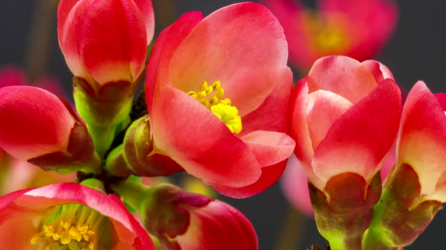 Japanese flowering crabapple flower blooming in a time lapse video